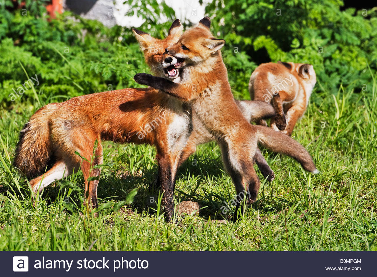 Baby red fox playing