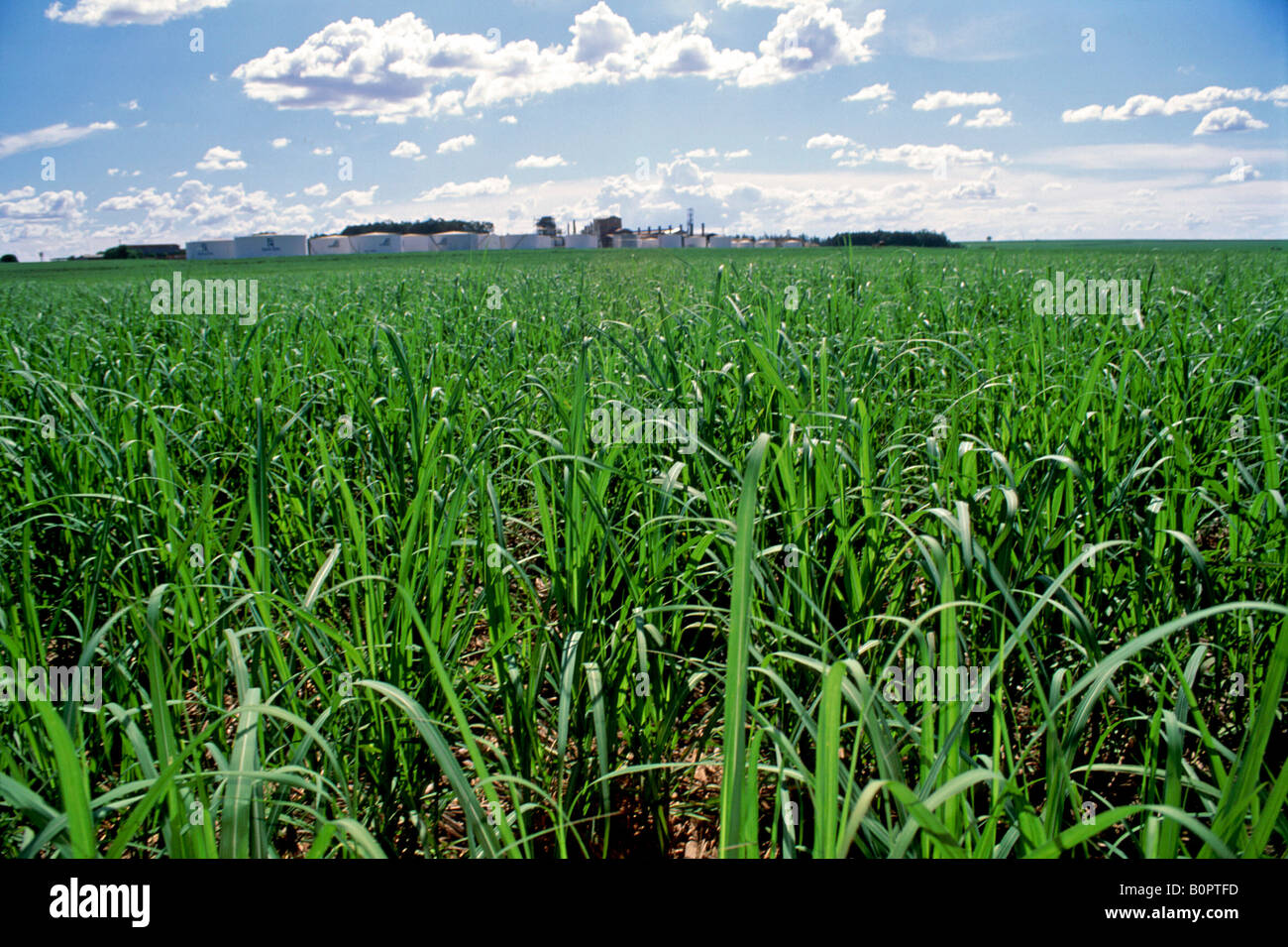 Sugar cane plantation at Santa Elisa s farm state of Sao ...