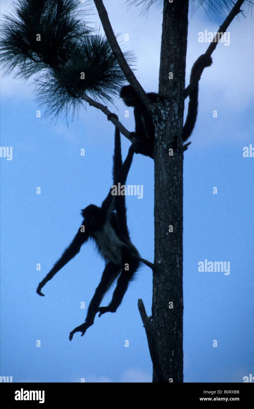 black-spider-monkeys-hanging-by-their-ta