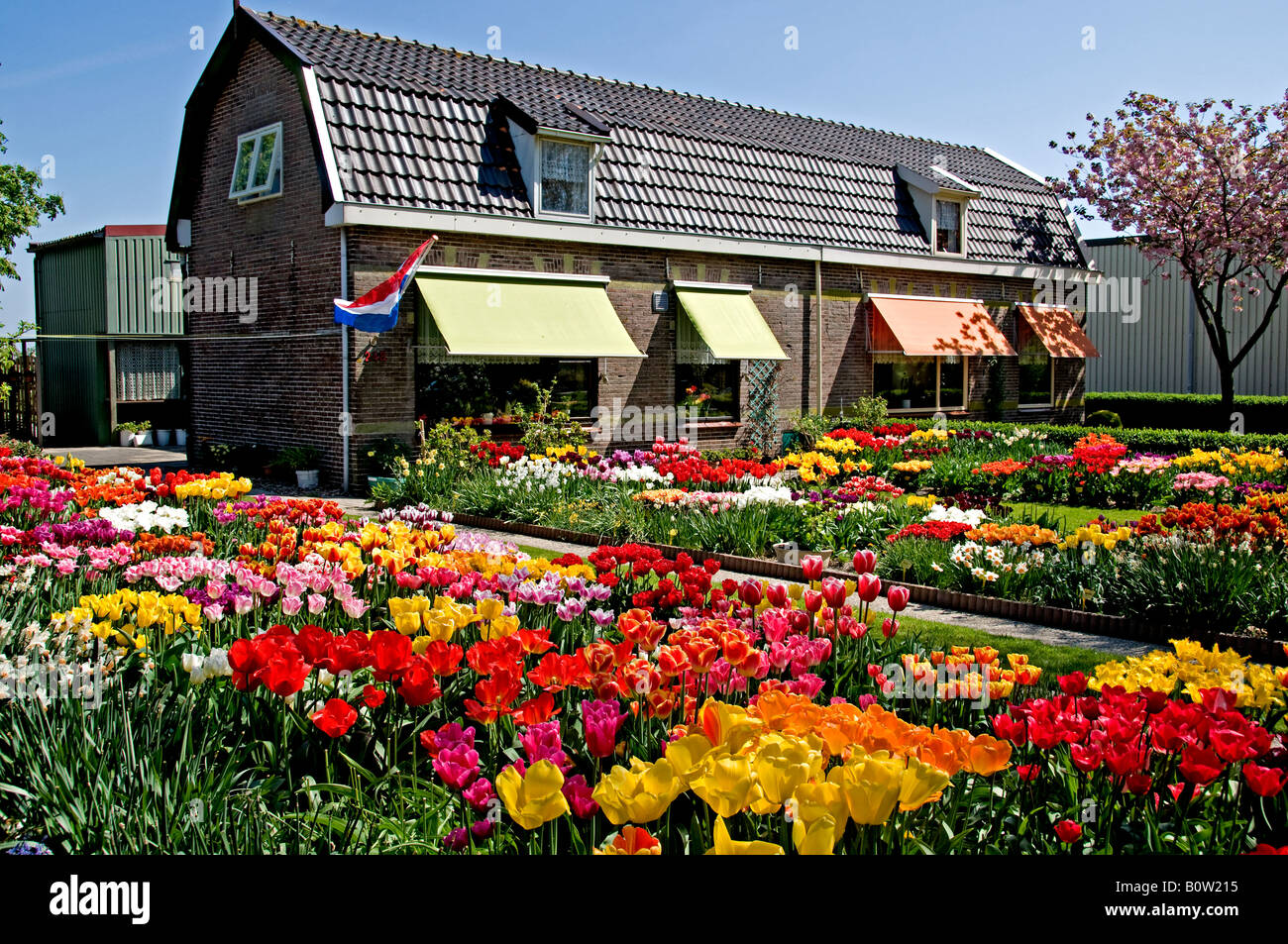 Netherlands North Holland Dutch Tulips Bulbfields Flowers Anna - House garden with flowers