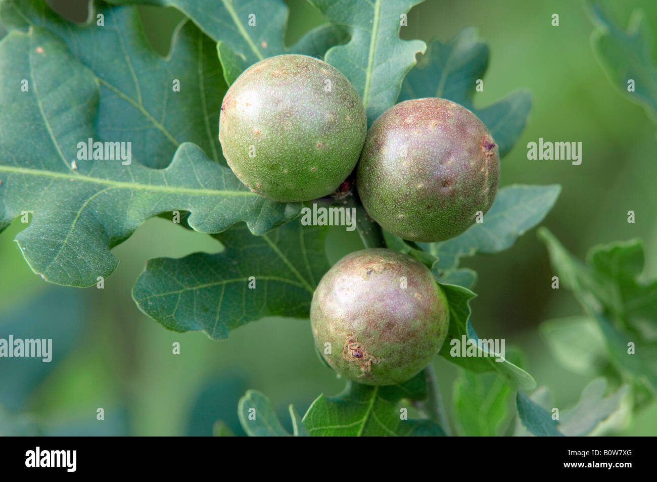 Attractive Oak Tree Fruit Part - 7: Gall On An Oak Tree (Quercus), Outgrowth Caused By A Gall Wasp Or Gallfly  (Cynips Quercusfolii), North Rhine-Westphalia, German