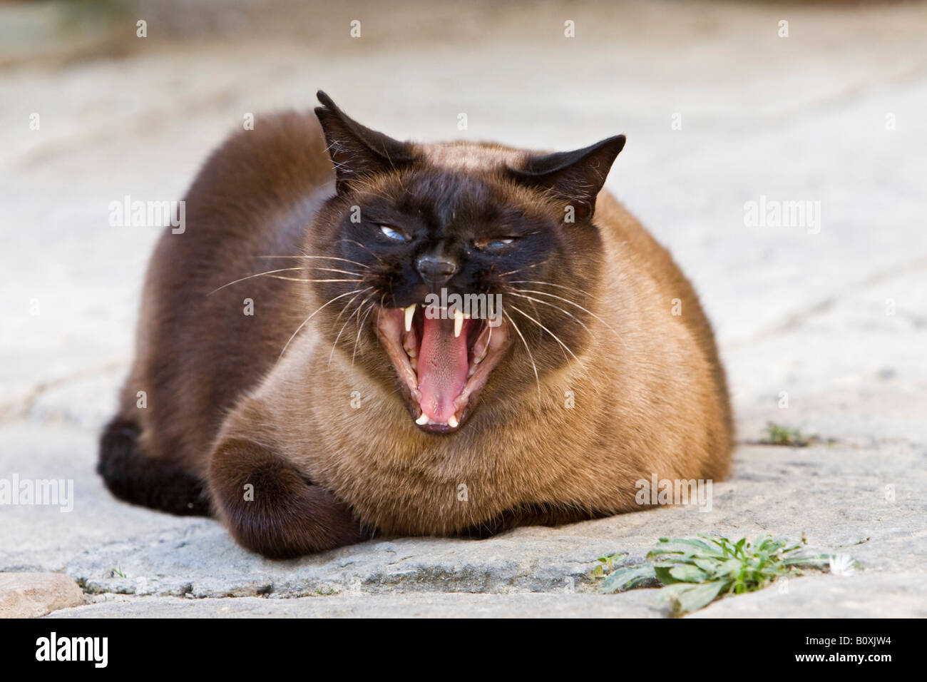 Siamese cat yawning portrait Stock Royalty Free Image