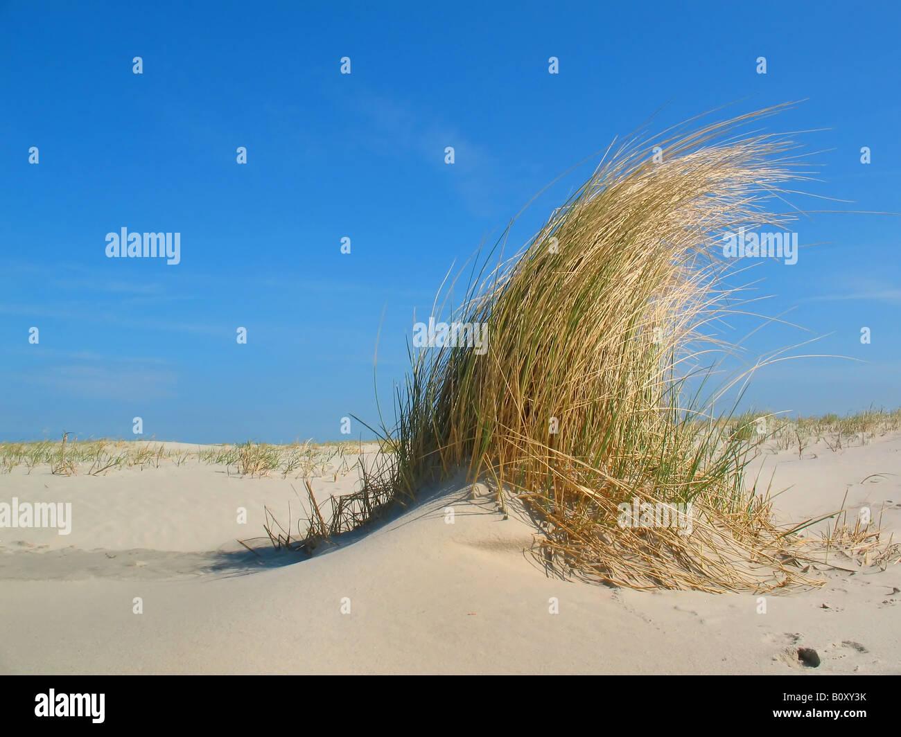 Blue lyme grass blue dune - Beach Grass European Beachgrass Marram Grass Psamma Sea Sand Reed Ammophila Arenaria Dune Grass On A Sandy Beach Under A