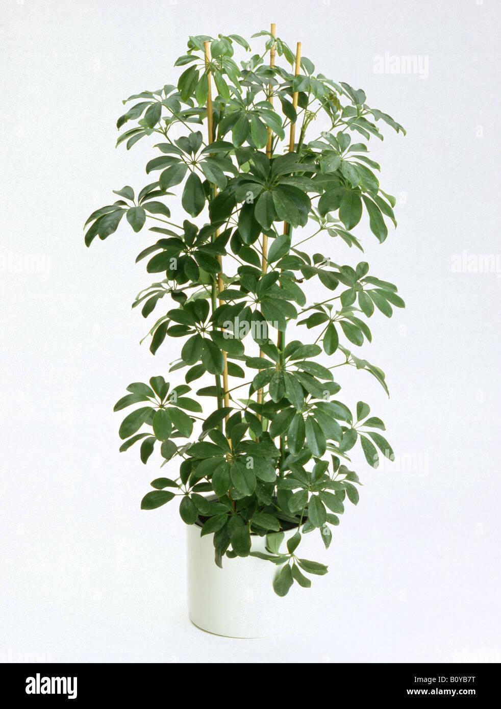 Dwarf schefflera schefflera arboricola potted plant - Schefflera variegata ...
