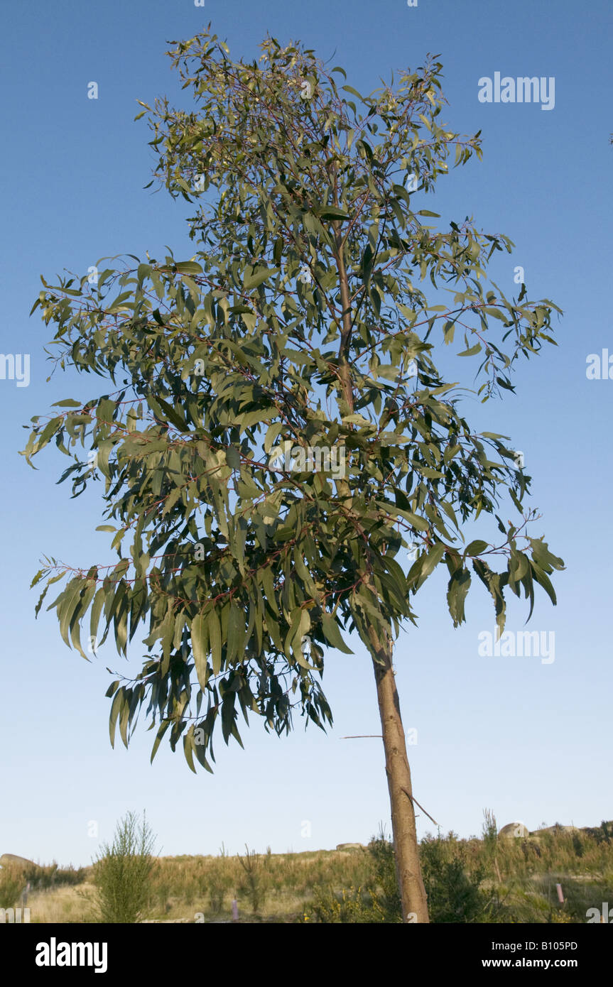 How To Buy Stock >> Young Eucalyptus Tree, Portugal Stock Photo, Royalty Free Image: 17829573 - Alamy