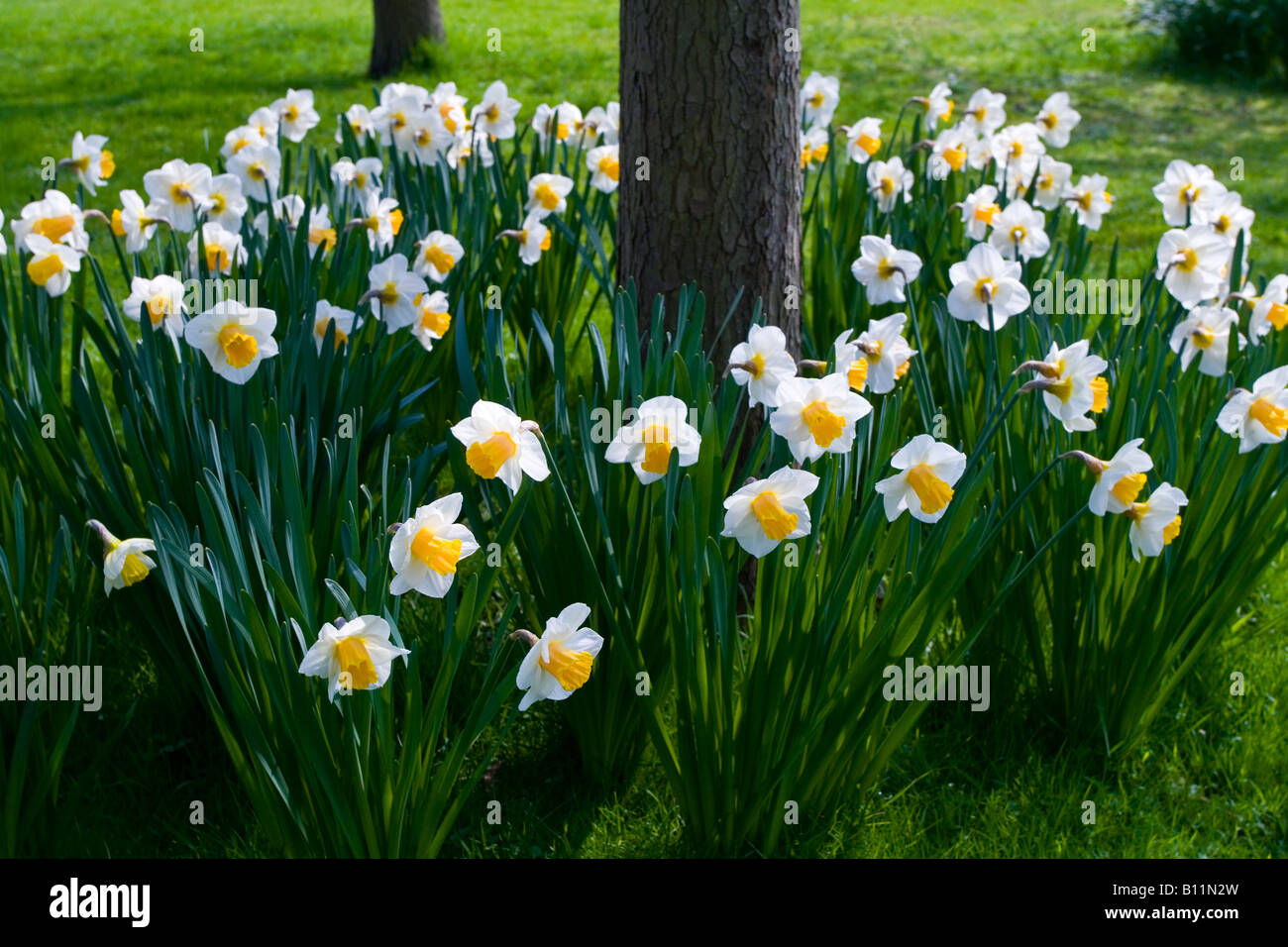 Daffodil flowers growing around a tree trunk stock photo 17863521 alamy - Flowers that grow on tree trunks ...