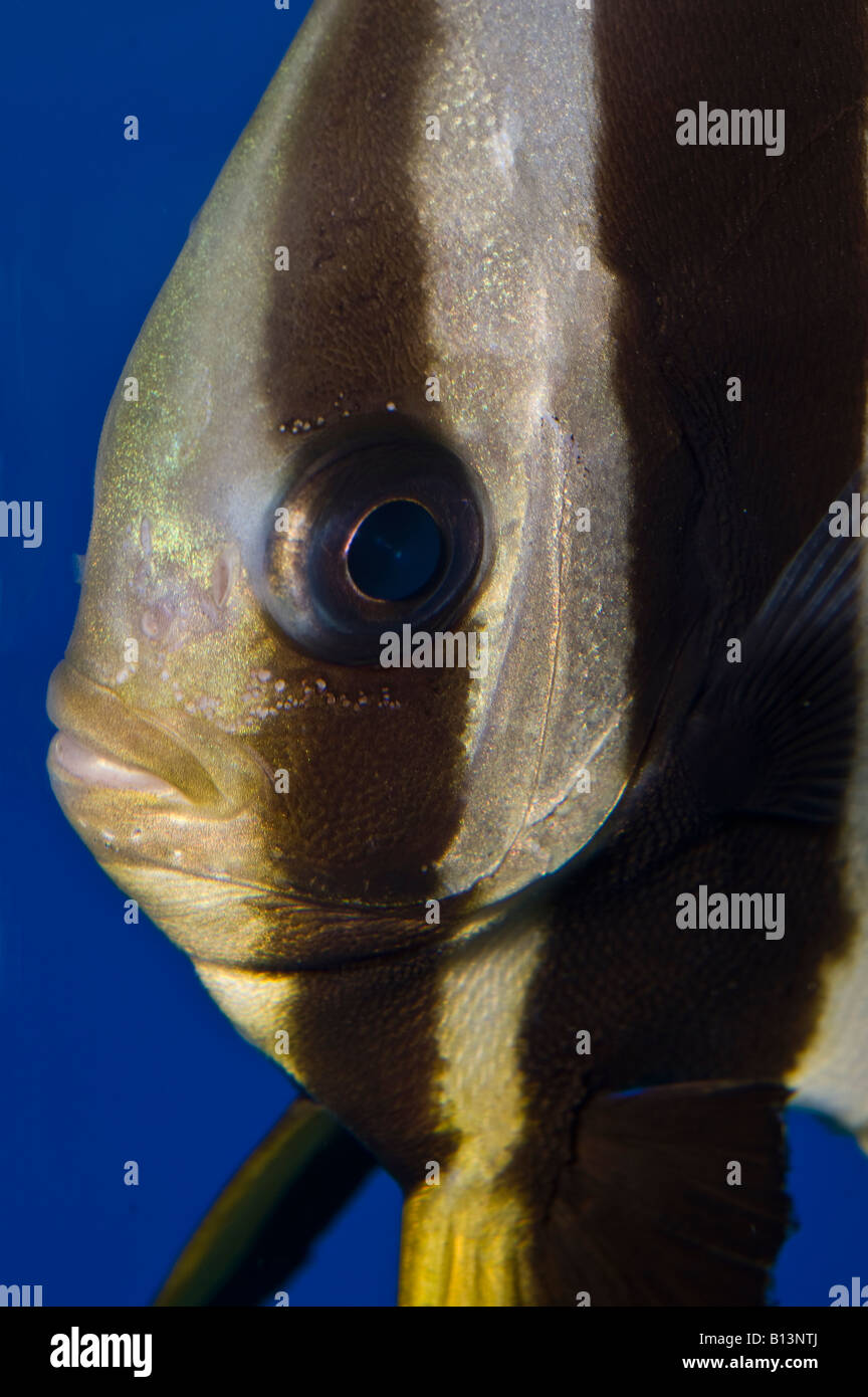 Fish for vertical aquarium - Stock Photo Young Platax Orbicularis Bat Fish Reef Fish Fishes Animal Animals Aquaria Aquarium Indo Pacific Ocean Vertical Portrait Robert