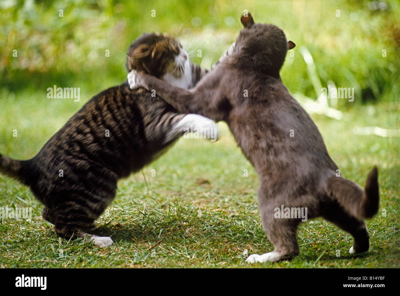 Free Clipart Cats Fighting