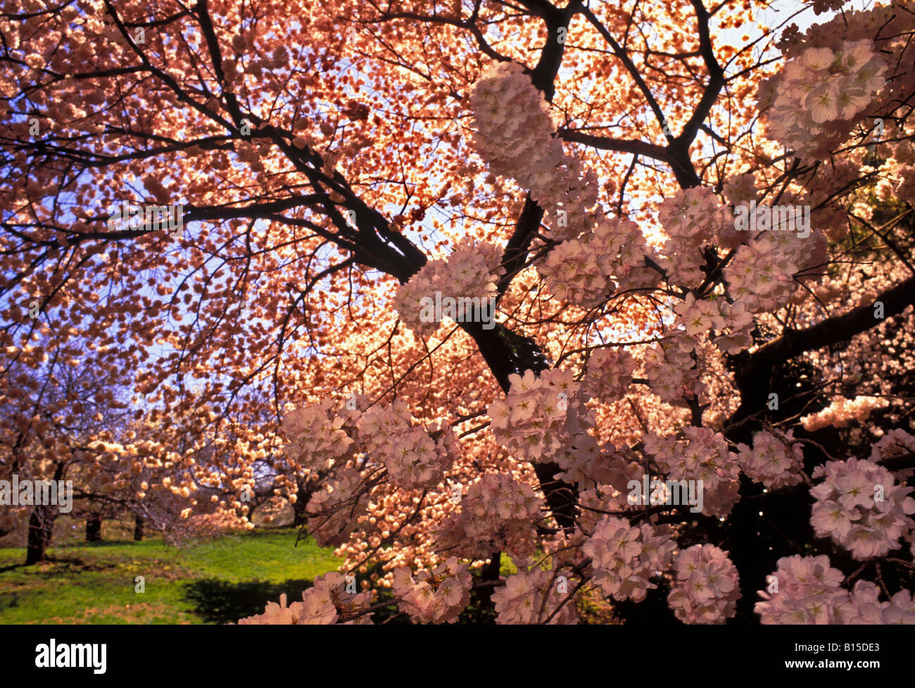 Painet Js0790 Cherry Blossoms Springtime In New York Botanical Garden Stock Photo Royalty Free