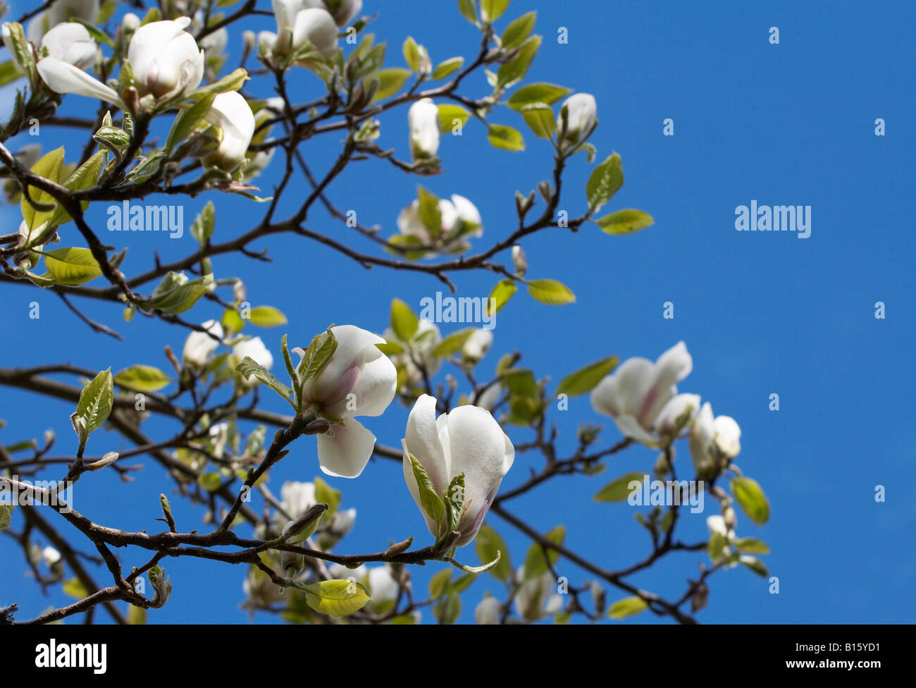 White flowers of magnolia tree with backdrop of blue sky stock photo white flowers of magnolia tree with backdrop of blue sky mightylinksfo Images