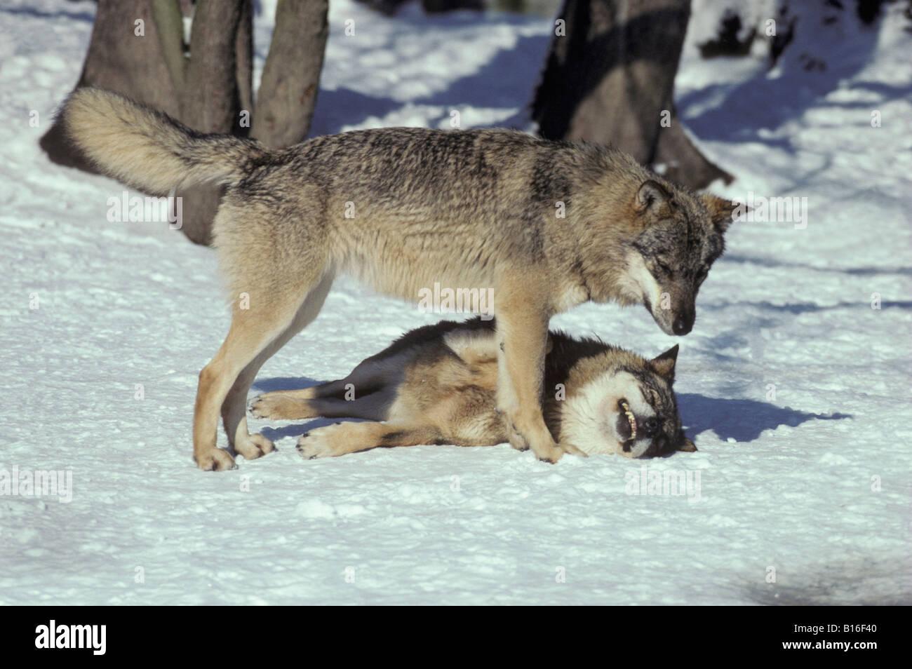 Wolf lying on back - photo#4
