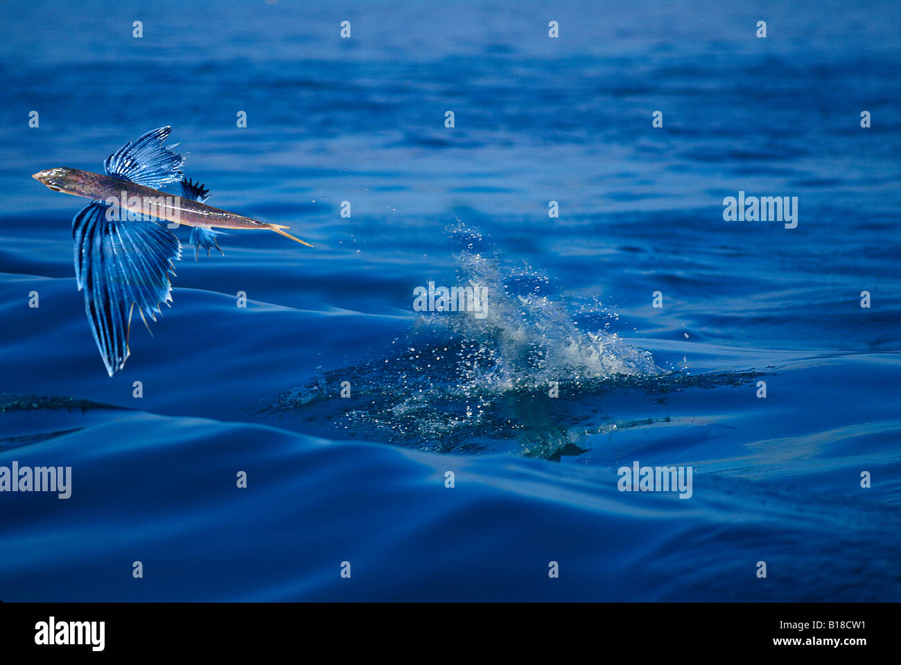 Flying fish exocetus spec caribbean sea stock photo for Flying fish images