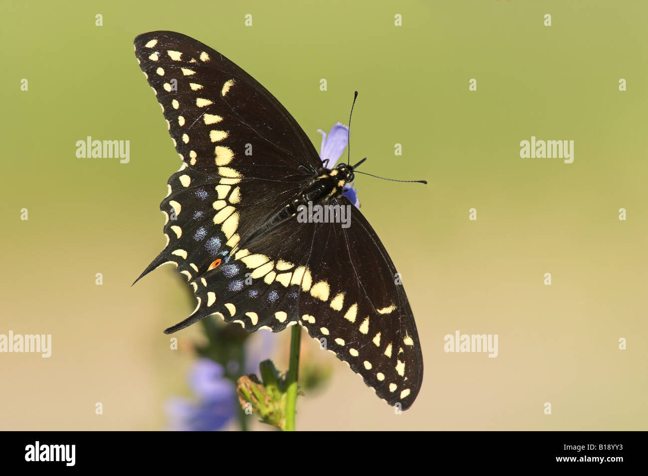 A Black Swallowtail Butterfly (Papilio Polyxenes) On A Chicory Plant In  Etobicoke, Ontario, Canada