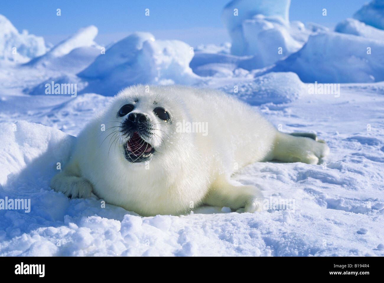 Harp Seal, pup, pack ice, Magdalen Islands, Gulf of St. Lawrence ...