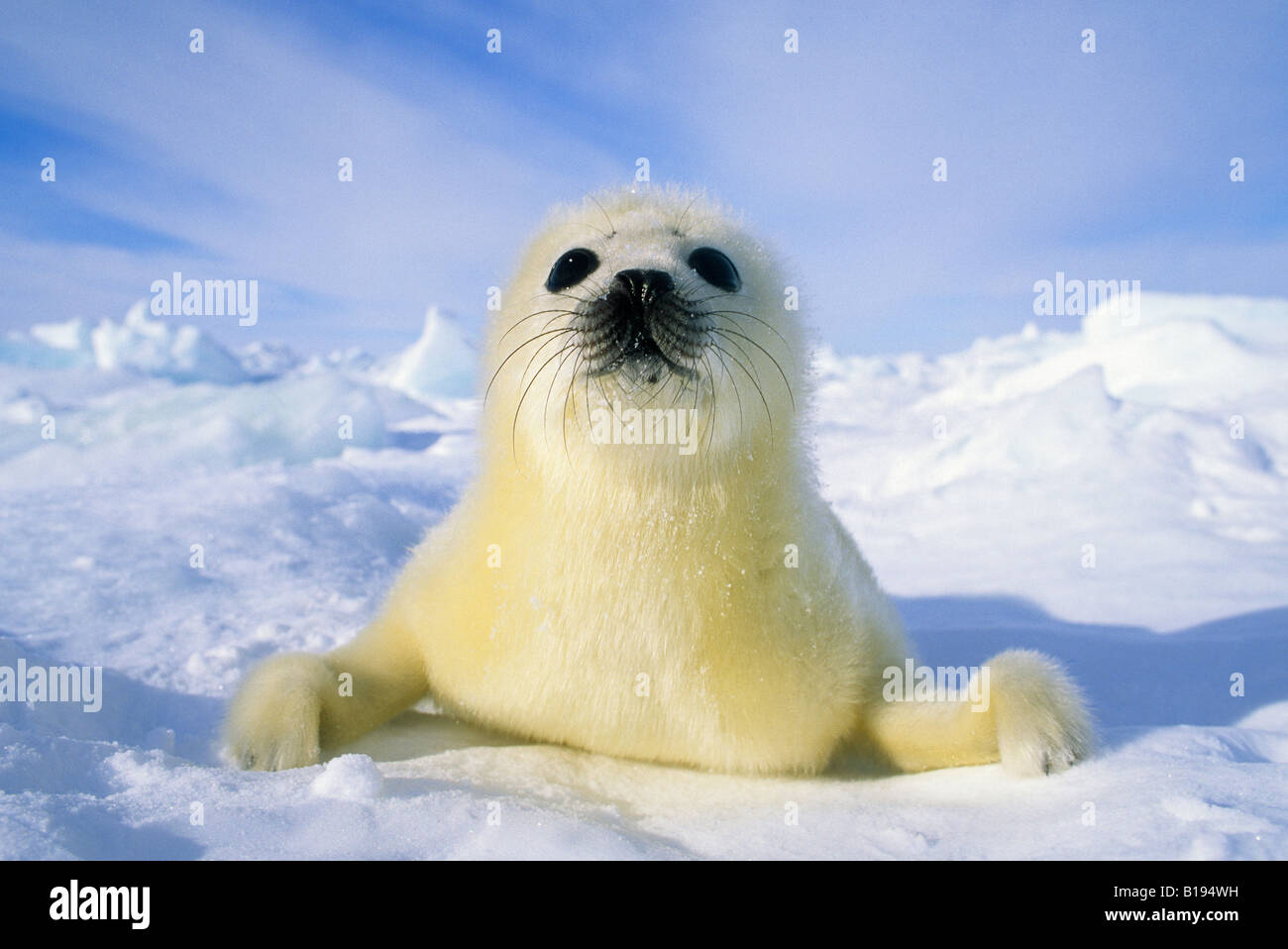Harp Seal Pup Sleeping Gulf Of St Lawrence Canada Stock Photo ...