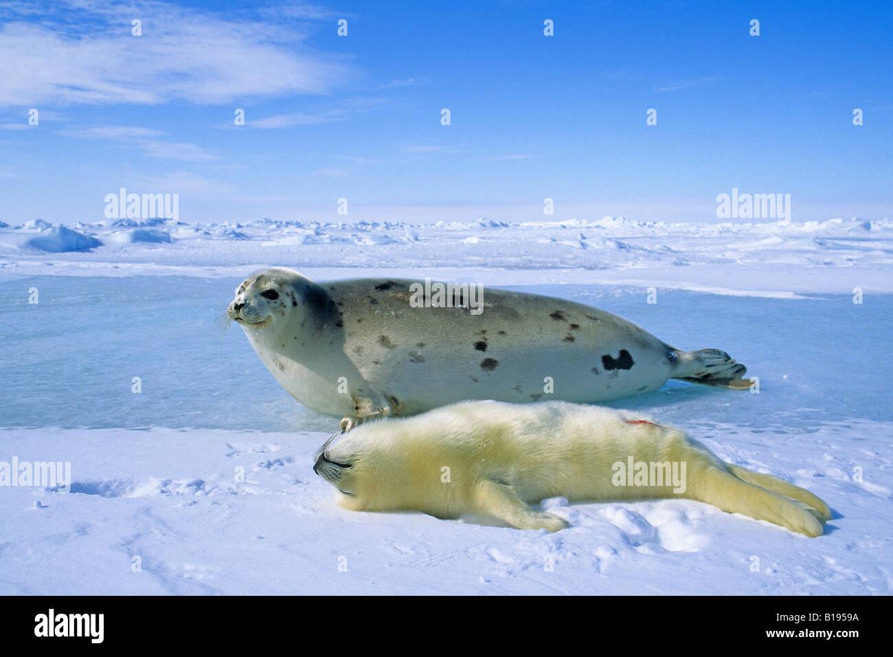 25  best ideas about Baby harp seal on Pinterest   Harp seal pup ...