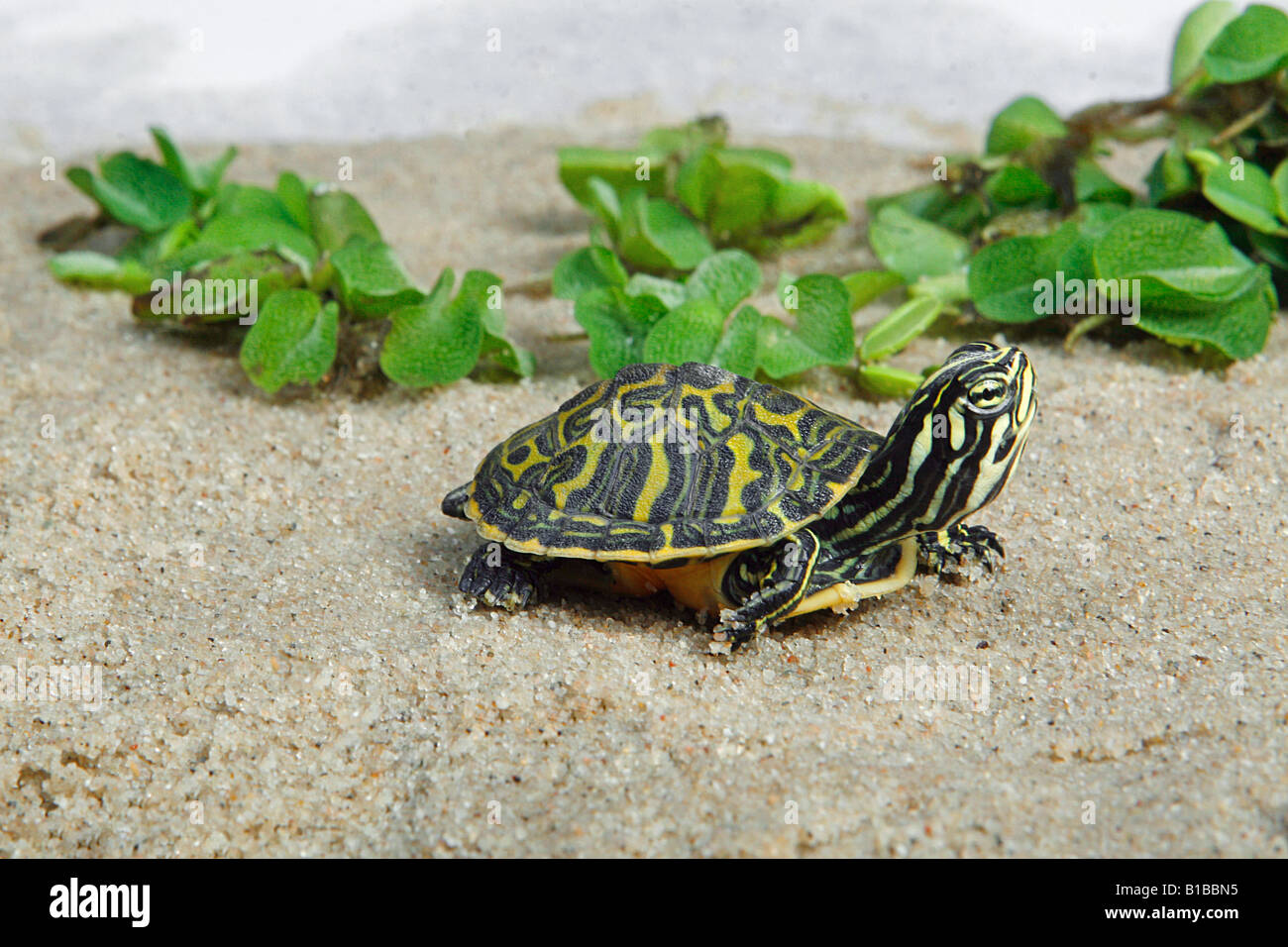 Young yellow bellied slider trachemys scripta scripta for Trachemys scripta
