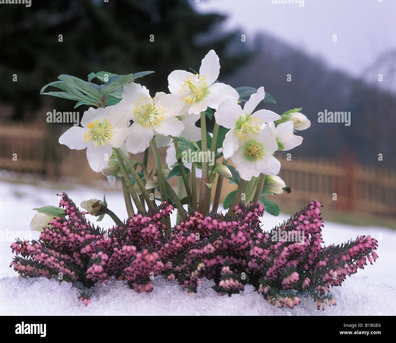 flower christrose erika christmas rose stock photo royalty free image 18079438 alamy. Black Bedroom Furniture Sets. Home Design Ideas