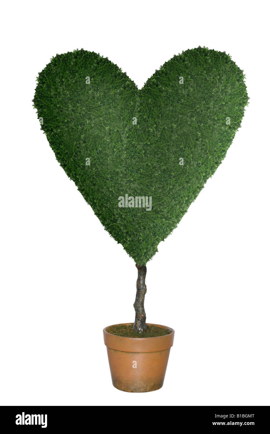 topiary tree in shape of heart cut out on white background stock