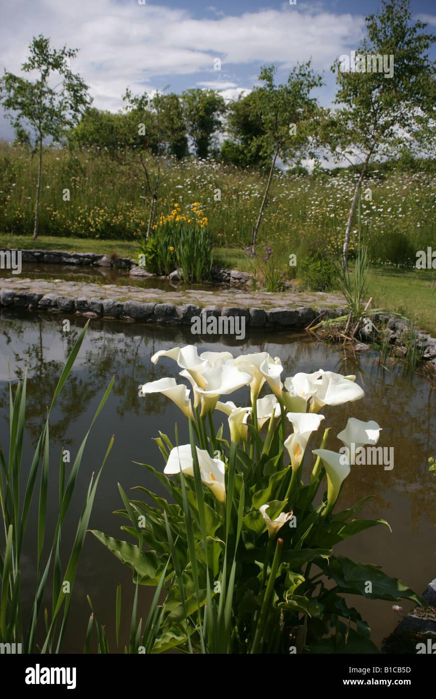 zantedeschia in the winter garden in brigit s garden co galway