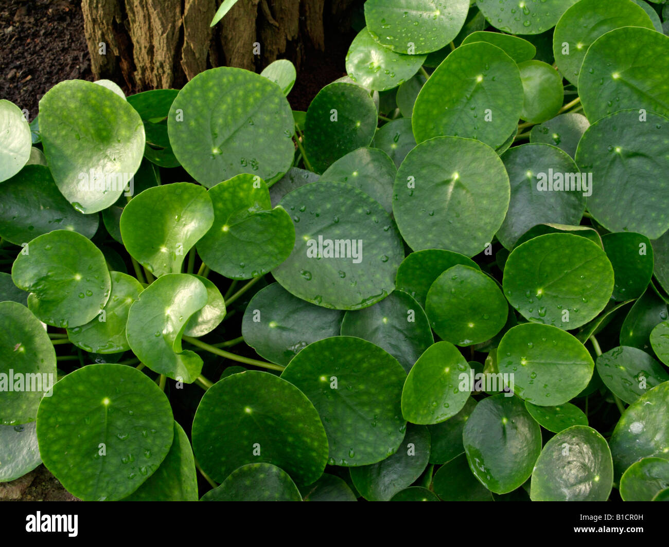 chinese money plant pilea peperomioides stock photo royalty free image 18106497 alamy. Black Bedroom Furniture Sets. Home Design Ideas