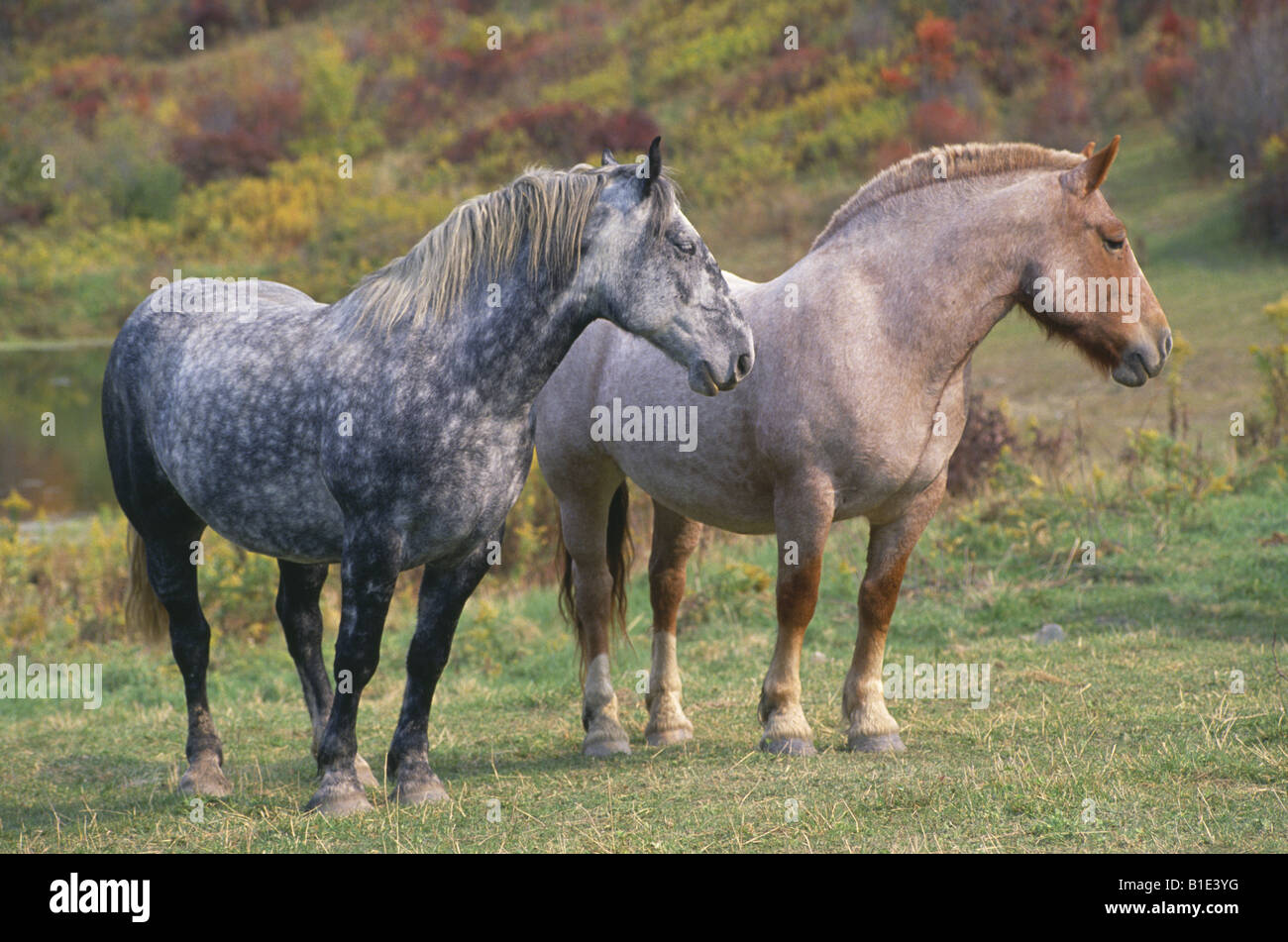 BLUE ROAN STRAWBERRY ROAN WORK HORSES PENNSYLVANIA Stock ... - photo#20