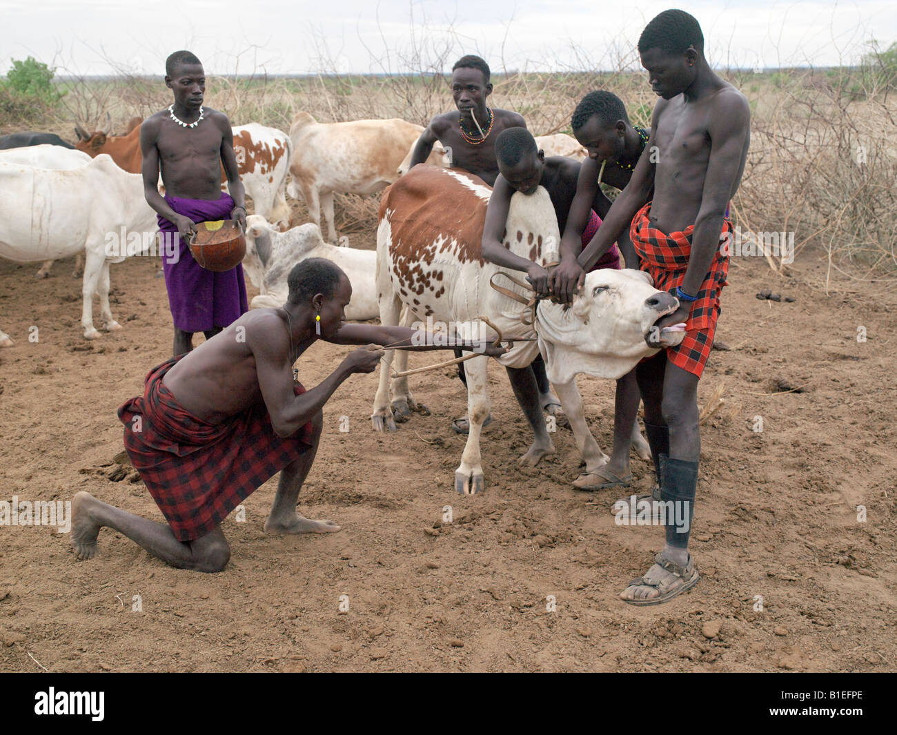 A Group Of Nyag'atom Men Draw Blood From A Steer Early In The Morning