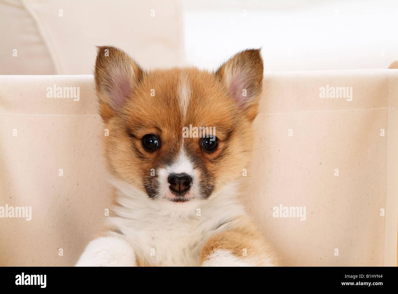welsh corgi dog stock photos u0026 welsh corgi dog stock images alamy