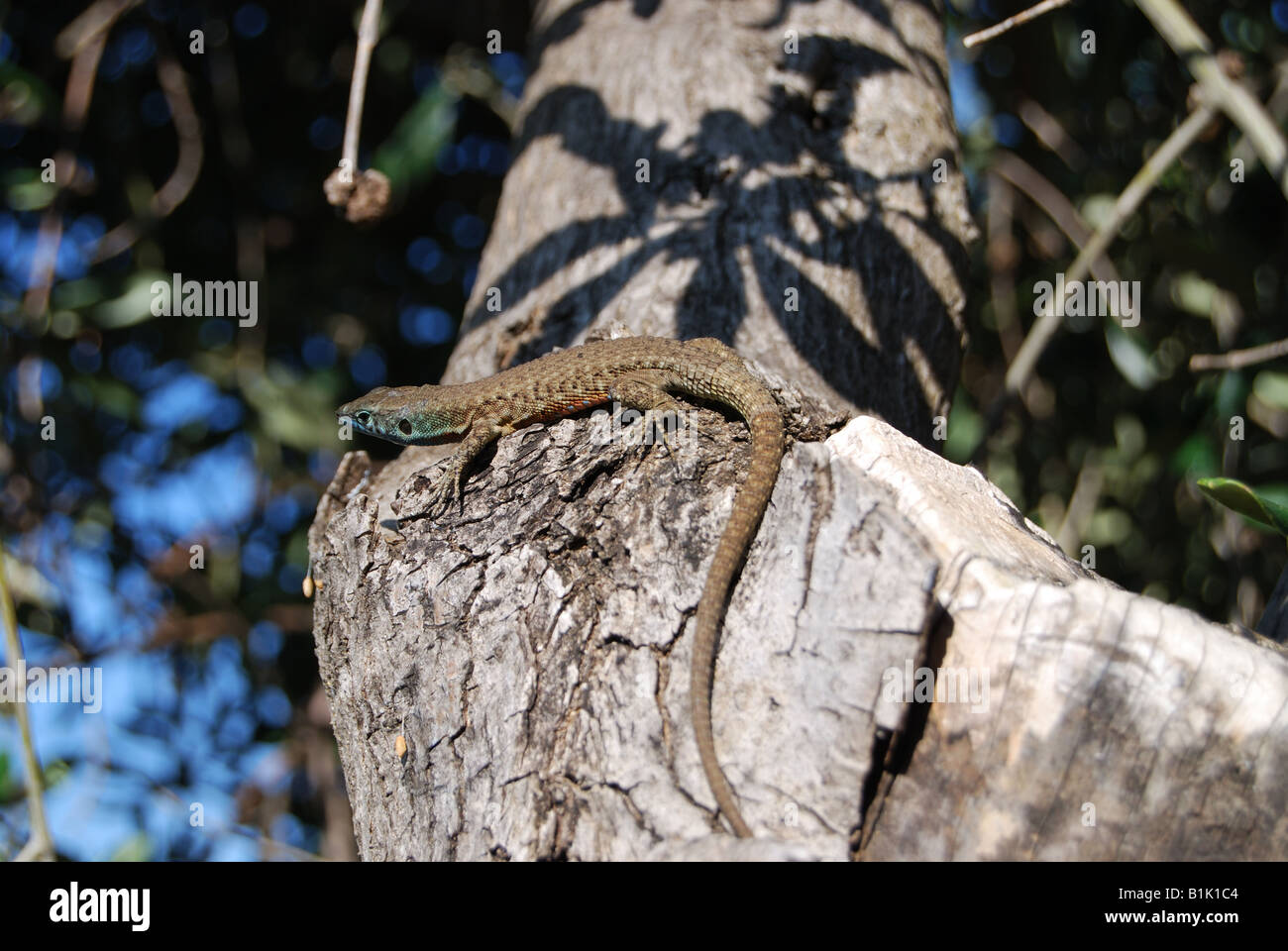 small lizard gecko sitting on a tree branch stock photo royalty
