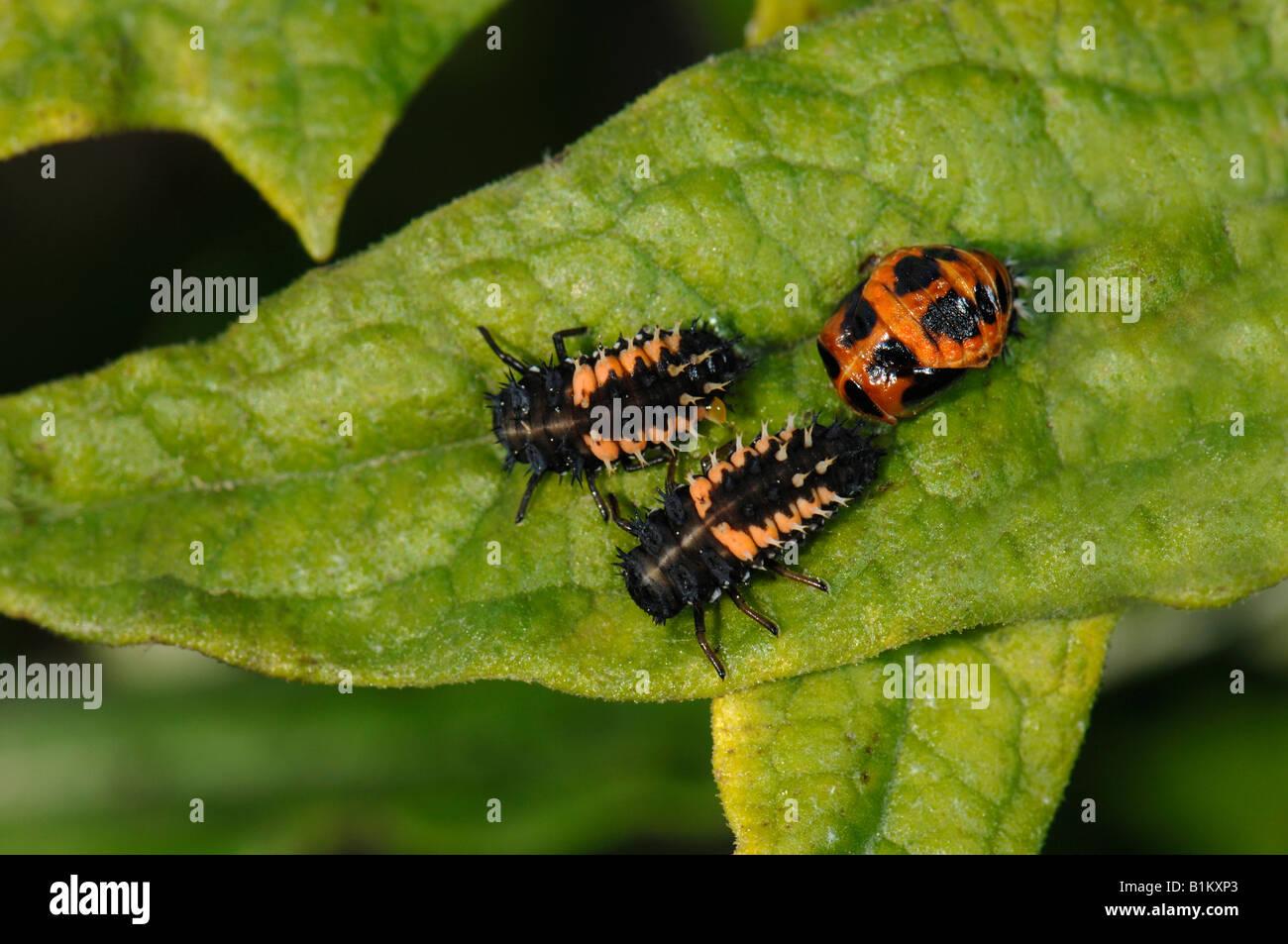 Asian Beetle Larvae 110