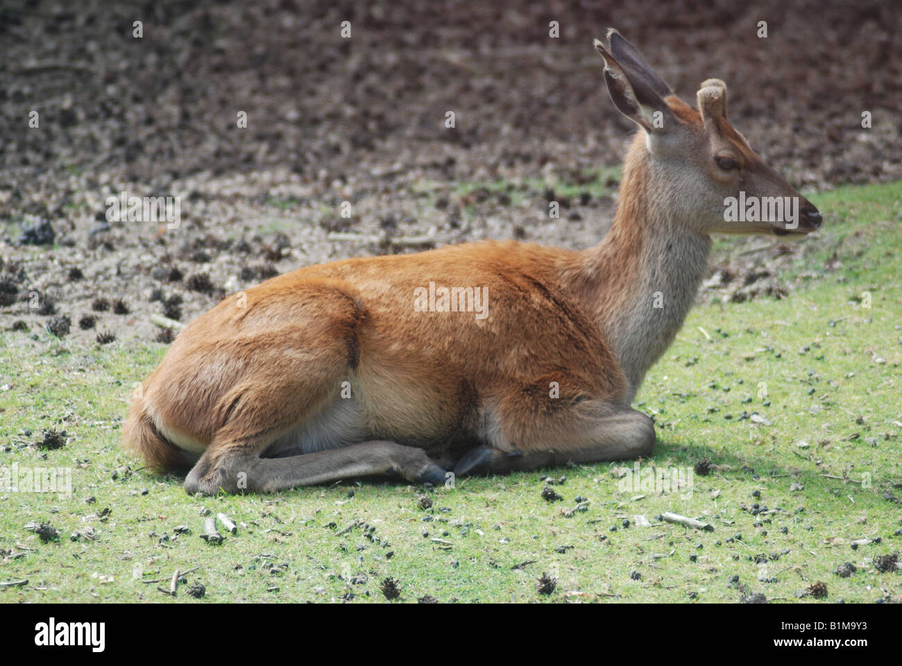 baby deer sitting on ground stub antlers stock photo royalty free