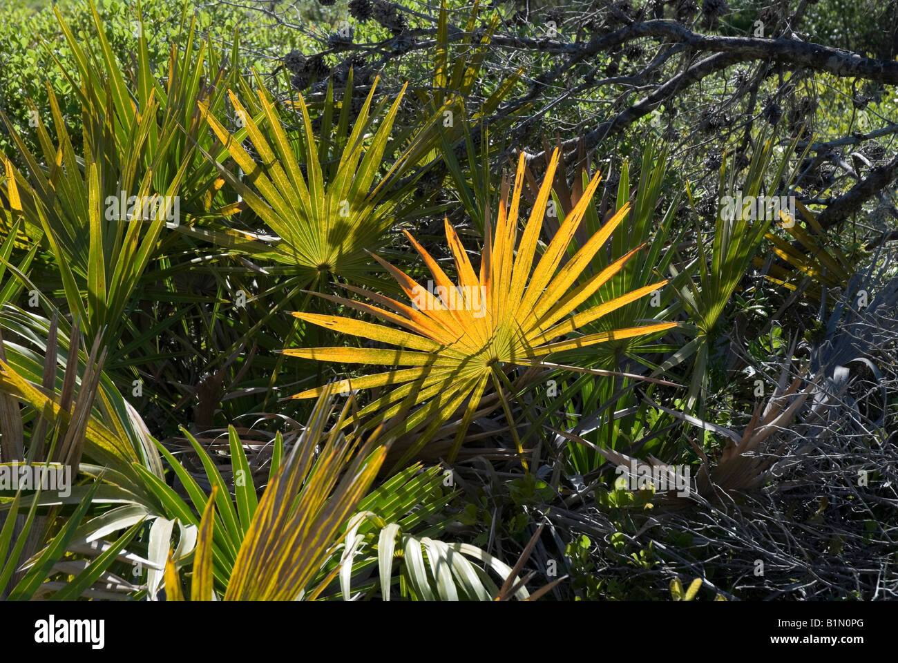 Nature S Design Saw Palmetto