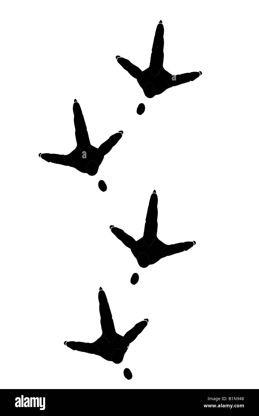 White Stork (Ciconia ciconia), footprints, drawing Stock