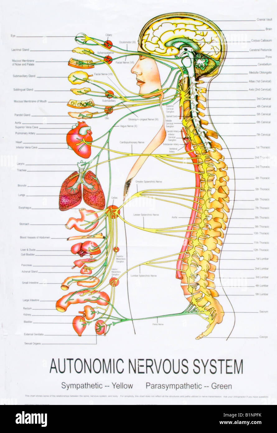 autonomic nervous system You don't have to think about breathing because your body's autonomic nervous  system controls it, as it does many other functions in your body if you try to hold.