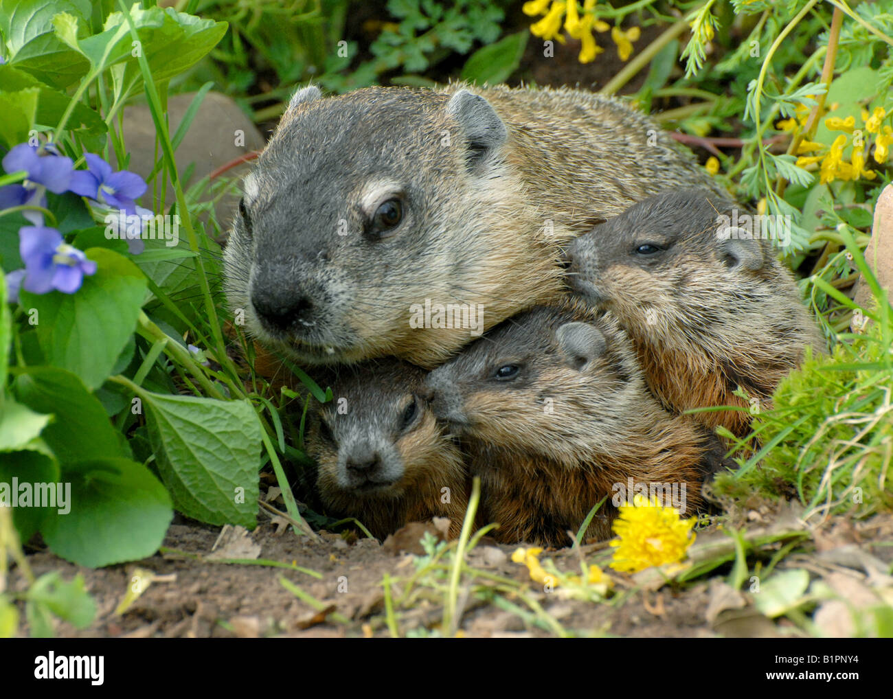 woodchuck mother and three babies marmota monax also known as