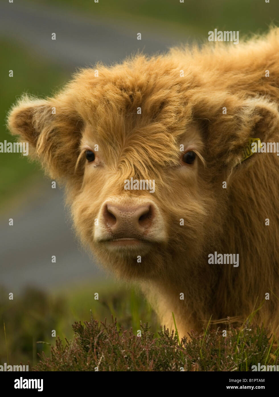 headshot of a young highland cow calf stock photo royalty free