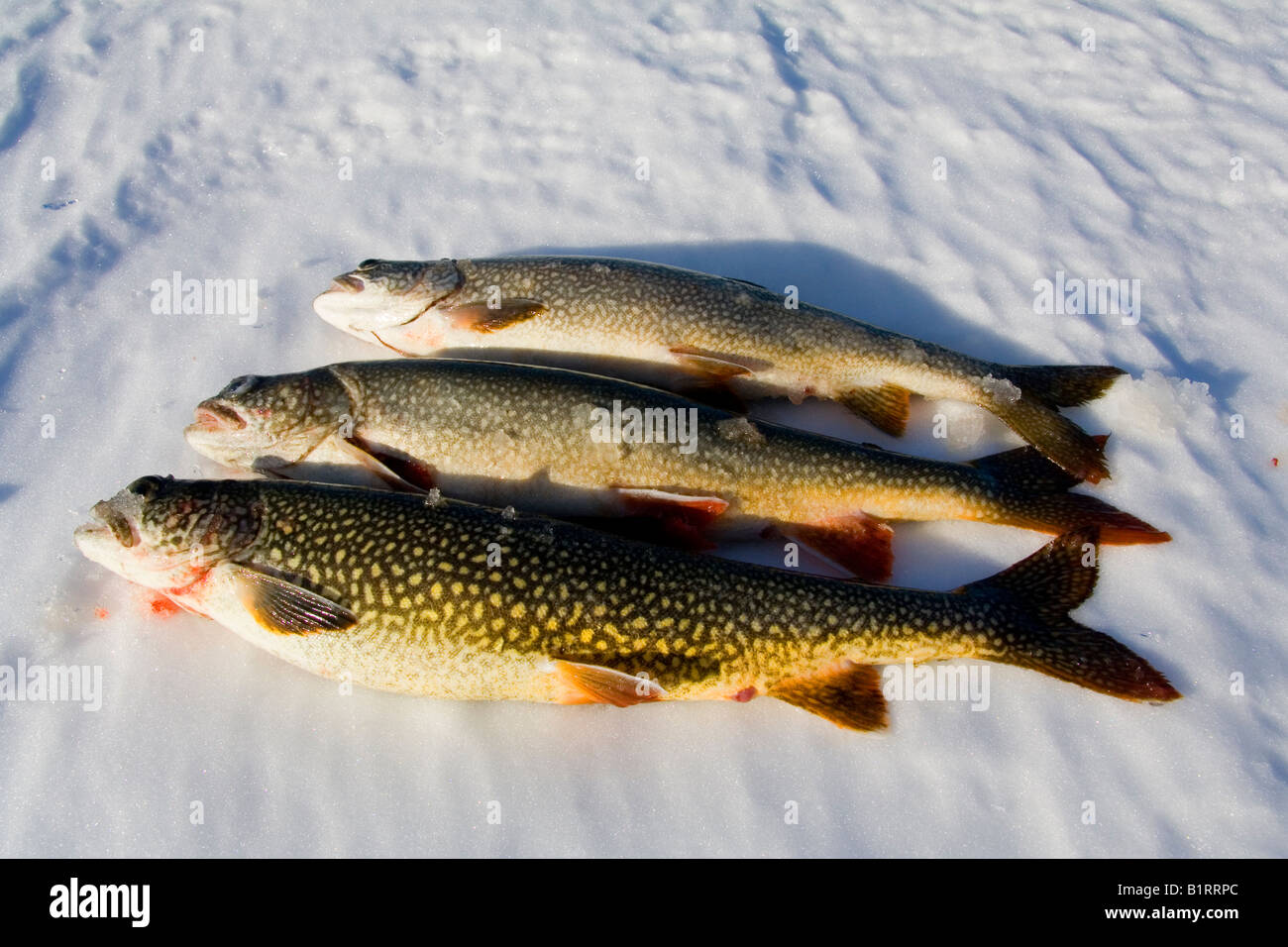 Lake trout salvelinus namaycush caught while ice fishing for Lake trout ice fishing