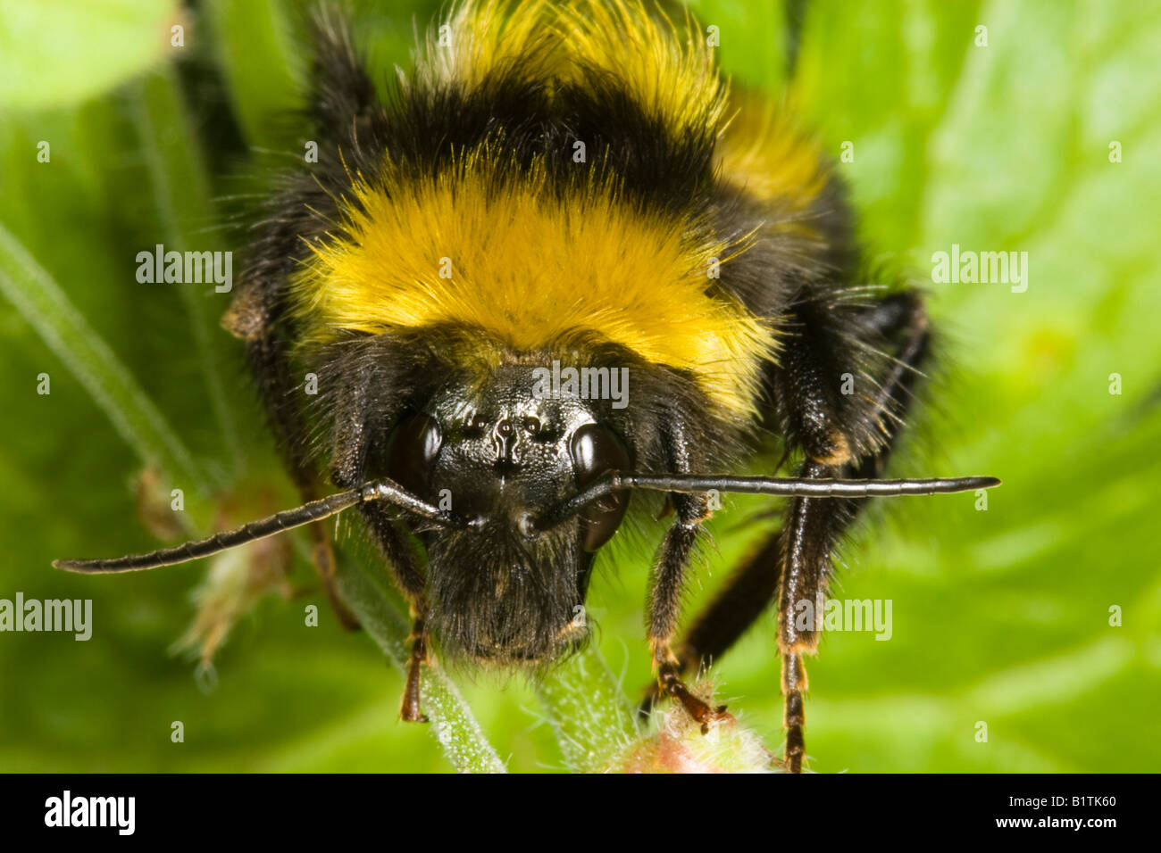 Close-up of head of Male white-tailed Bombus jonellus ...