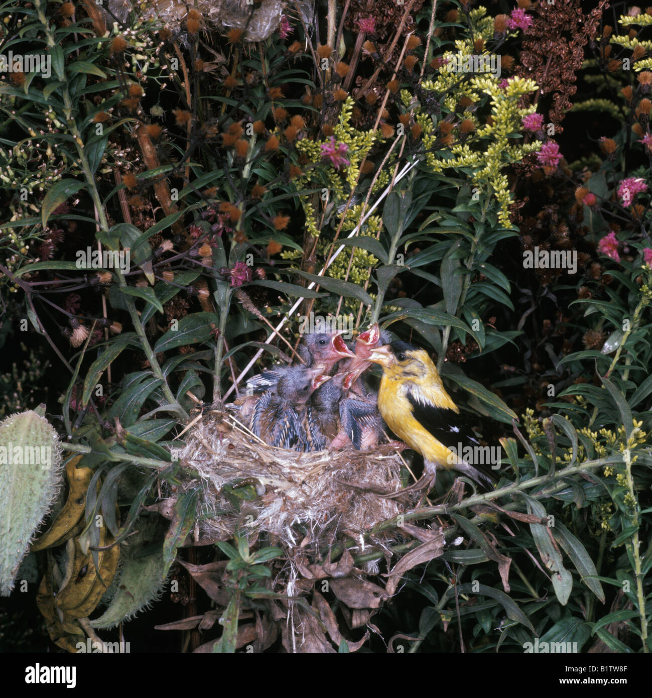 finch american goldfinch male feeding young east tennessee usa