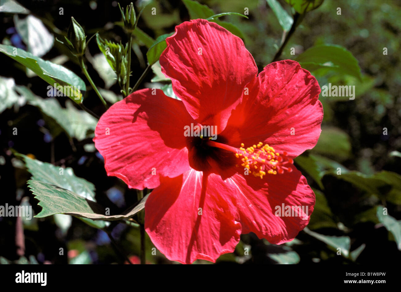 Hibiscus hibiscus sp in bloom on a garden terrace aestival seasons hibiscus hibiscus sp in bloom on a garden terrace aestival seasons alone april beautiful season beautiful seasons botanical spec dhlflorist Image collections