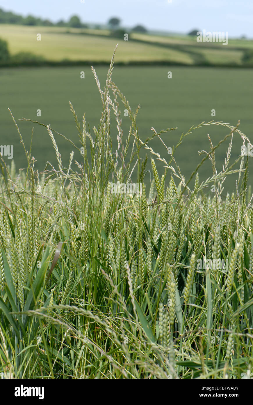 how to kill weeds in ryegrass