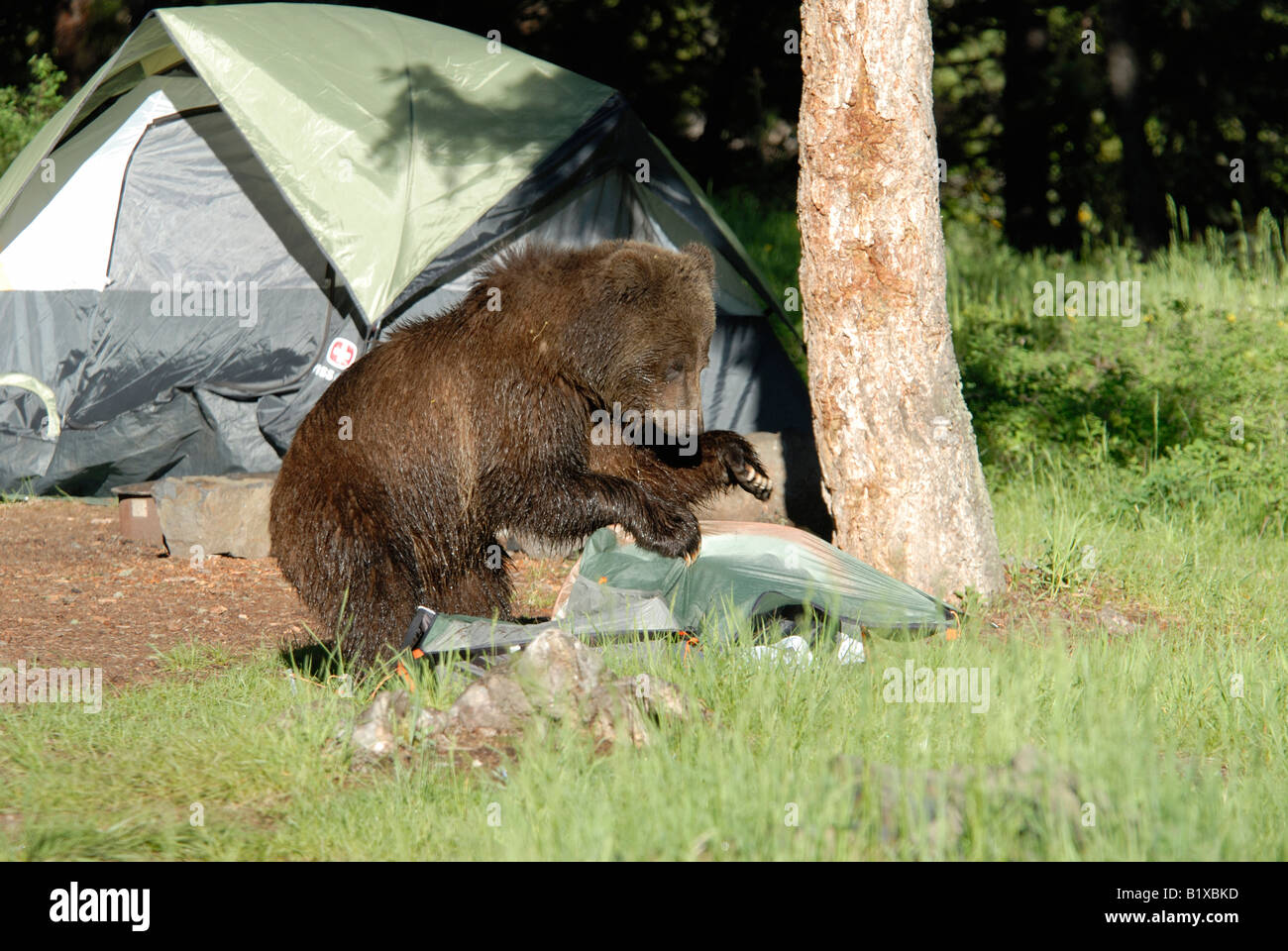 Stock photo of a grizzly bear destroying a tent in a c&ground in Yellowstone National Park & Stock photo of a grizzly bear destroying a tent in a campground in ...