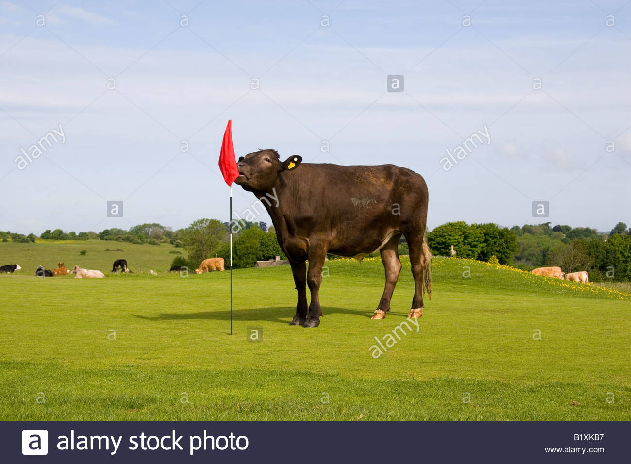 cattle-on-the-putting-green-on-minchinha