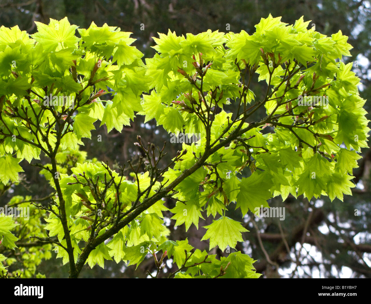 japanese maple acer shirasawanum 39 aureum 39 stock photo royalty free image 18426835 alamy. Black Bedroom Furniture Sets. Home Design Ideas