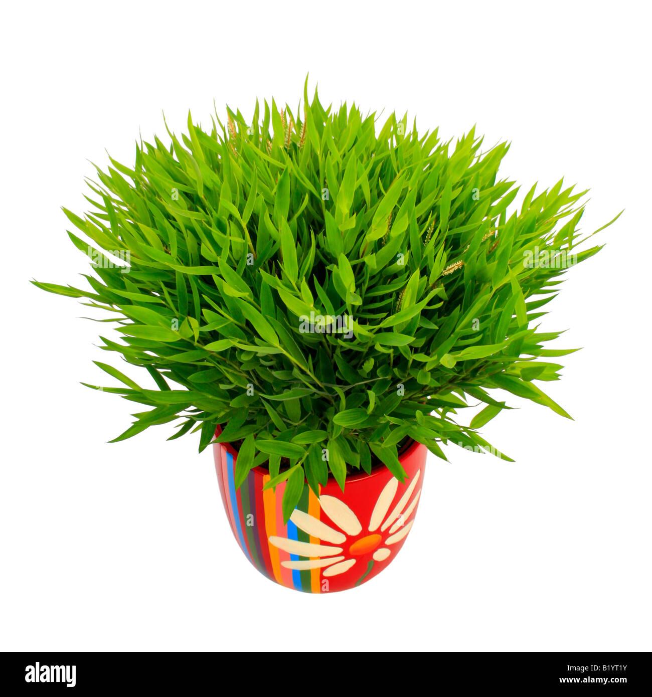 Mini Bamboo Plant : Miniature bamboo pogonatherum paniceum plant in colourful