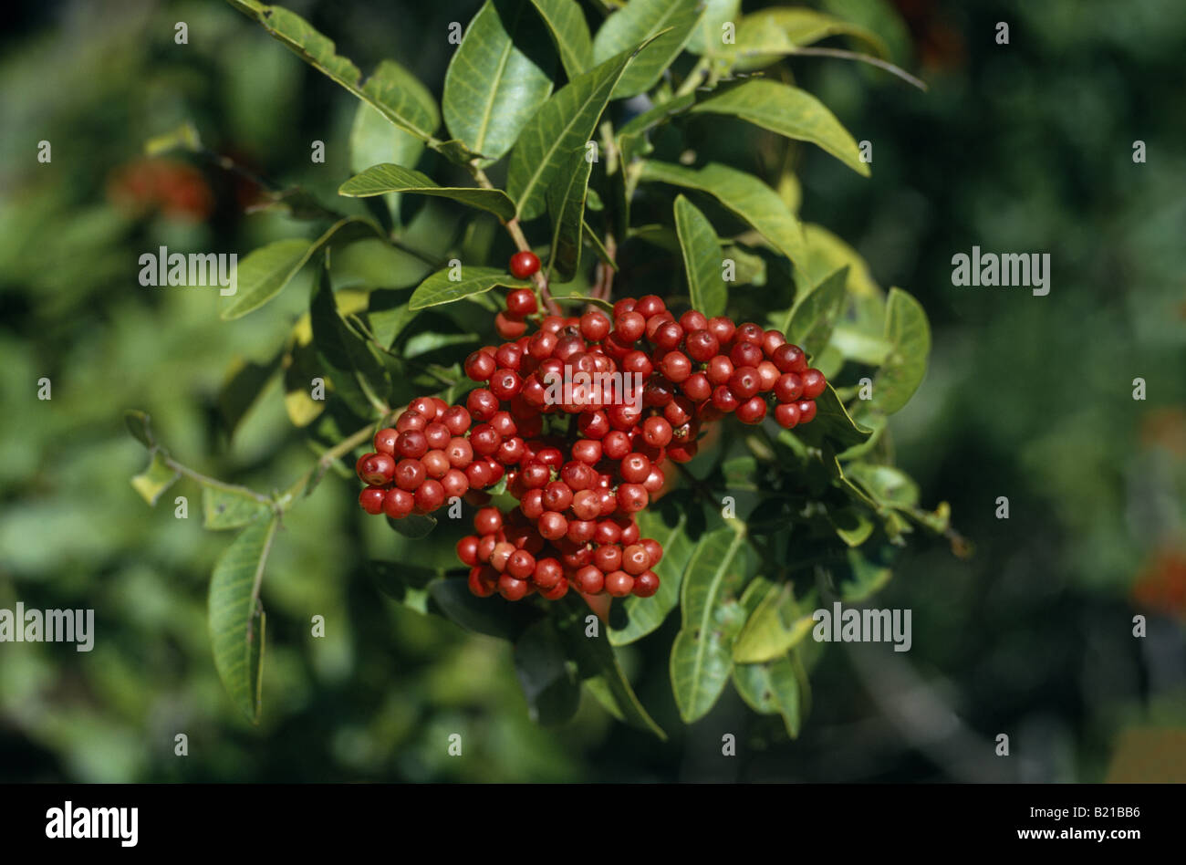 BRAZILIAN PEPPER TREE FLORIDA HOLLY CHRISTMAS BERRY SCHINUS Stock ...