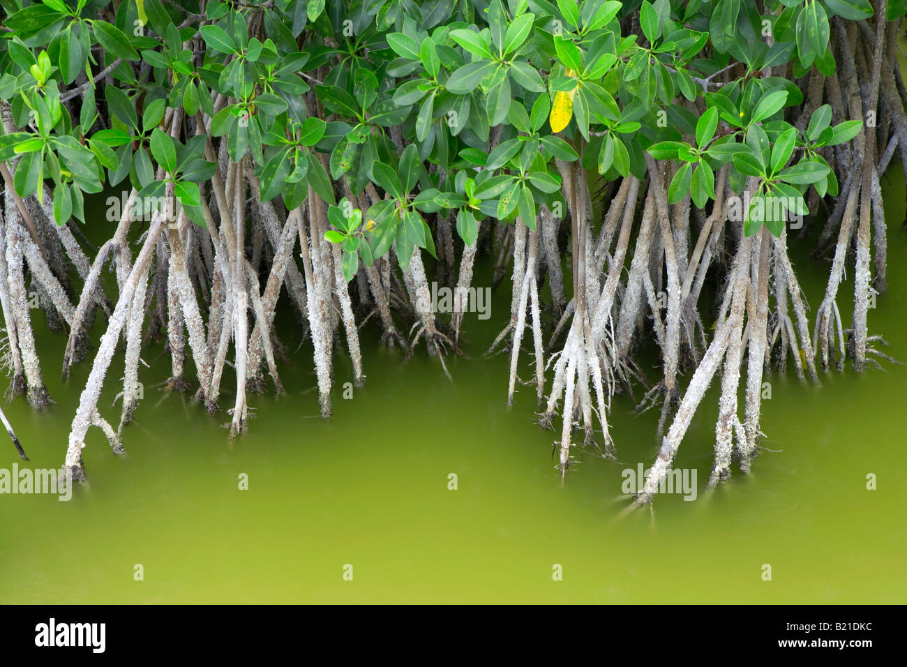 Mangrove growing in shallow water in the Everglades National Park ...