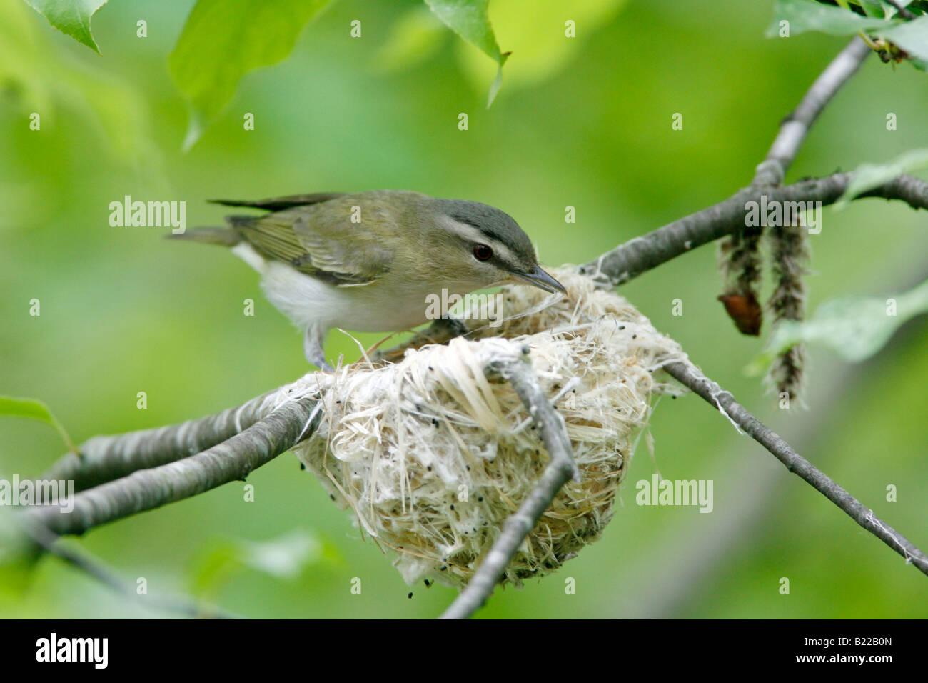 Red eyed vireo nest - photo#24