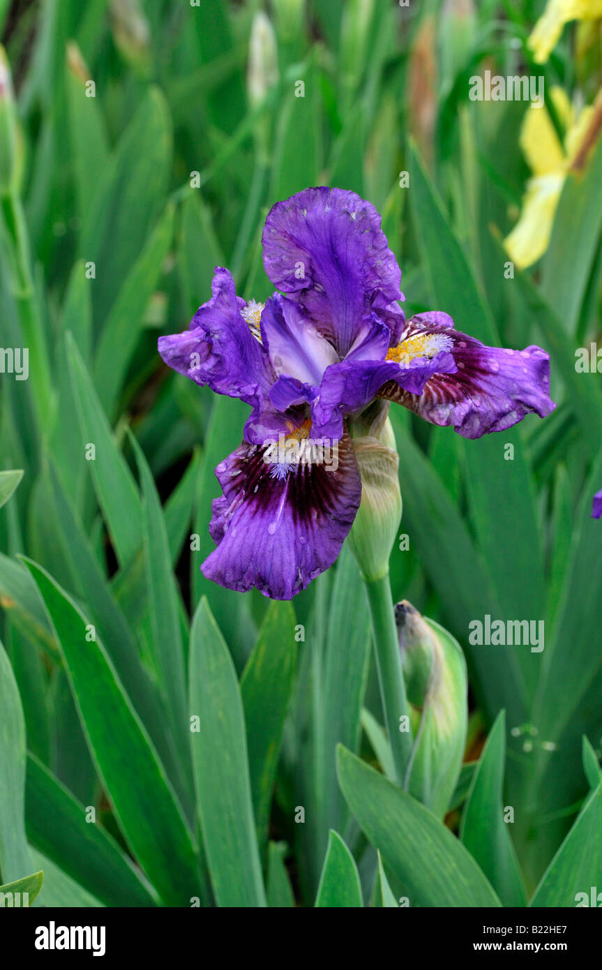 Iris germanica iris langport robe german iris aka blue - Iris germanica ...