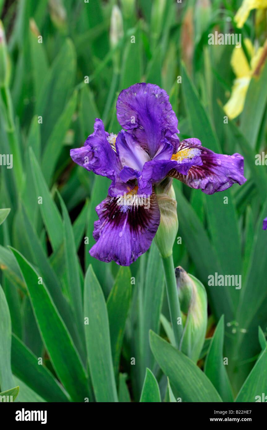 Iris germanica iris langport robe german iris aka blue - Iris germanica ...